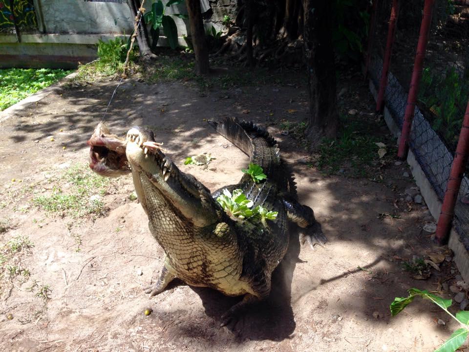 Crocodile in Crocolandia Cebu